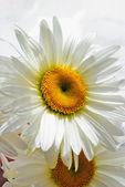 One blanching daisywheel — Stock Photo