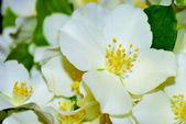 Bouquet of the jasmine — Stock Photo