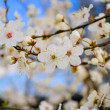 Flowering spring tree on blue sky — Stock Photo