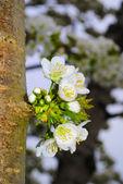 Flowering spring tree — Stock Photo