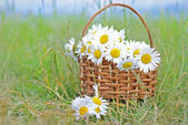 Basket with a bouquet of daisies in a field — Stock Photo
