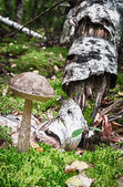 Boletus edulis — Stock Photo