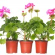 Three pot with pink geraniums  — Stock Photo