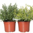 Thyme and lemon-thyme herb plants in pots isolated on white — Stock Photo