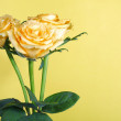 Yellow roses on yellow background — Stock Photo