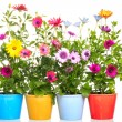 Stock Photo: Colorful Pot with Colorful africdaisy (Dimorphoteca) flower