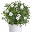 Pot with white daisy flower — Stock Photo