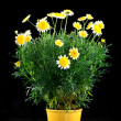 Pot with yellow daisy flower — Stock Photo