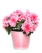 Fresh blooming pink azalea in pot on white background — Stock Photo