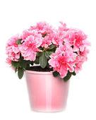 Fresh blooming pink azalea in pot on white background — Stock Photo