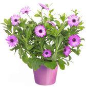 Pot with violet african daisy (Dimorphoteca, Osteospermum) flowe — Stock fotografie