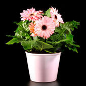 Gerber's flowers in a flowerpot isolated on a black background. — ストック写真