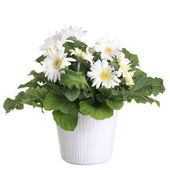 Gerber's flowers in a flowerpot isolated on a white background. — Stock Photo