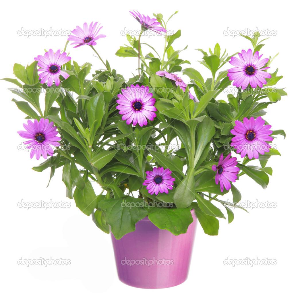 maceta con flor violeta margarita africana dimorphoteca osteospermum foto de stock. Black Bedroom Furniture Sets. Home Design Ideas