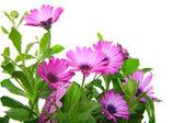 Violet african daisy (Dimorphoteca, Osteospermum) flower — Stock Photo
