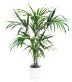 Kentia Palm Tree — Stock Photo