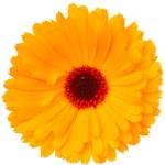Calendula flower isolated on the white background  — Stock Photo #42029779