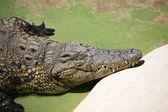 Alligator, — Stock Photo