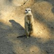 Stock Photo: Slender-tailed Meerkat standing in watch