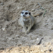 Slender-tailed Meerkat - Stock Photo