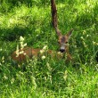 Roe deer doe — Stock Photo