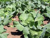 Cabbage — Stockfoto