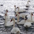 Stock Photo: Swans and gulls