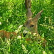Roe deer doe — Stockfoto