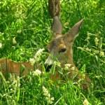 Roe deer doe — Stock Photo #35812707