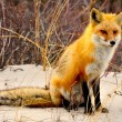 Red Fox — Stock Photo #15497191
