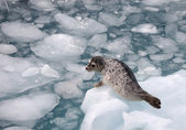 Harbour Seal — Stock Photo