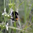 Stock Photo: Shaggy bumblebee