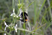 Shaggy bumblebee — Stock Photo