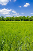 Green oat — Stock Photo