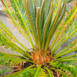 Cycas revoluta — Stock Photo