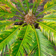Cycas revoluta — Stock Photo #27667611
