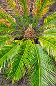 Cycas revoluta — Stock Photo