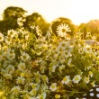 Baskets with daisies at sunset — Stock Photo #28753313