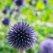 Stock Photo: Blooming blau Allium giganteum