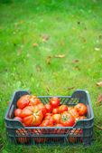 The tomato (Solanum lycopersicum) — Stock Photo
