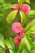 The peach, Prunus persica, — Stock Photo