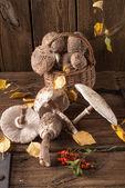 Parasol mushroom (Macrolepiota procera) — Stock Photo