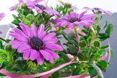 Violet daisies — Stock Photo