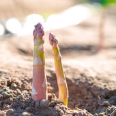 Asparagus on the field — Stock Photo