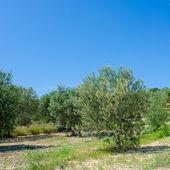 Olivenbaum plantage — Stockfoto