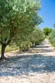 Piantagione di olivi — Foto Stock