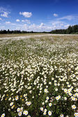 A field of daisies on a sunny summer day — Stock Photo