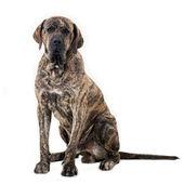 Big dog sitting isolated on white background. Brazilian fila. — Stock Photo