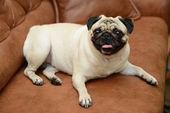 Pug dog zittend op de Bank — Stockfoto