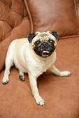 Pug dog sitting on the sofa — Stock Photo